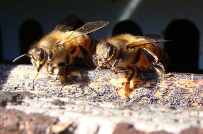 2 Abeilles dans une ruche