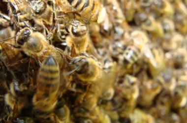 Nuée d'abeilles