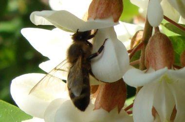 abeille sur fleur d'acacia