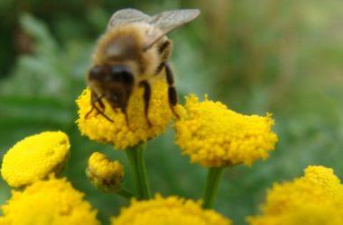 Abeille butinant une fleur