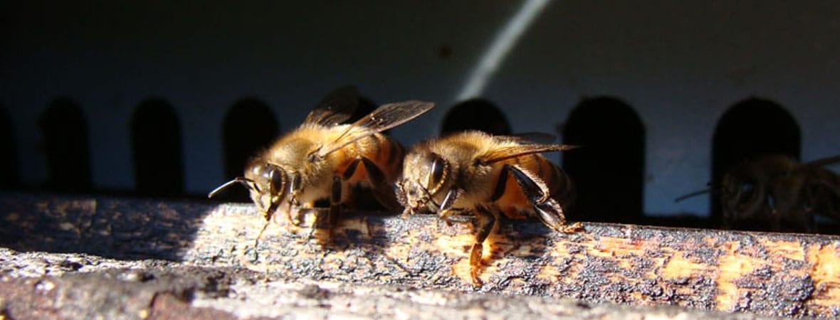 2 Abeilles devant leur ruche